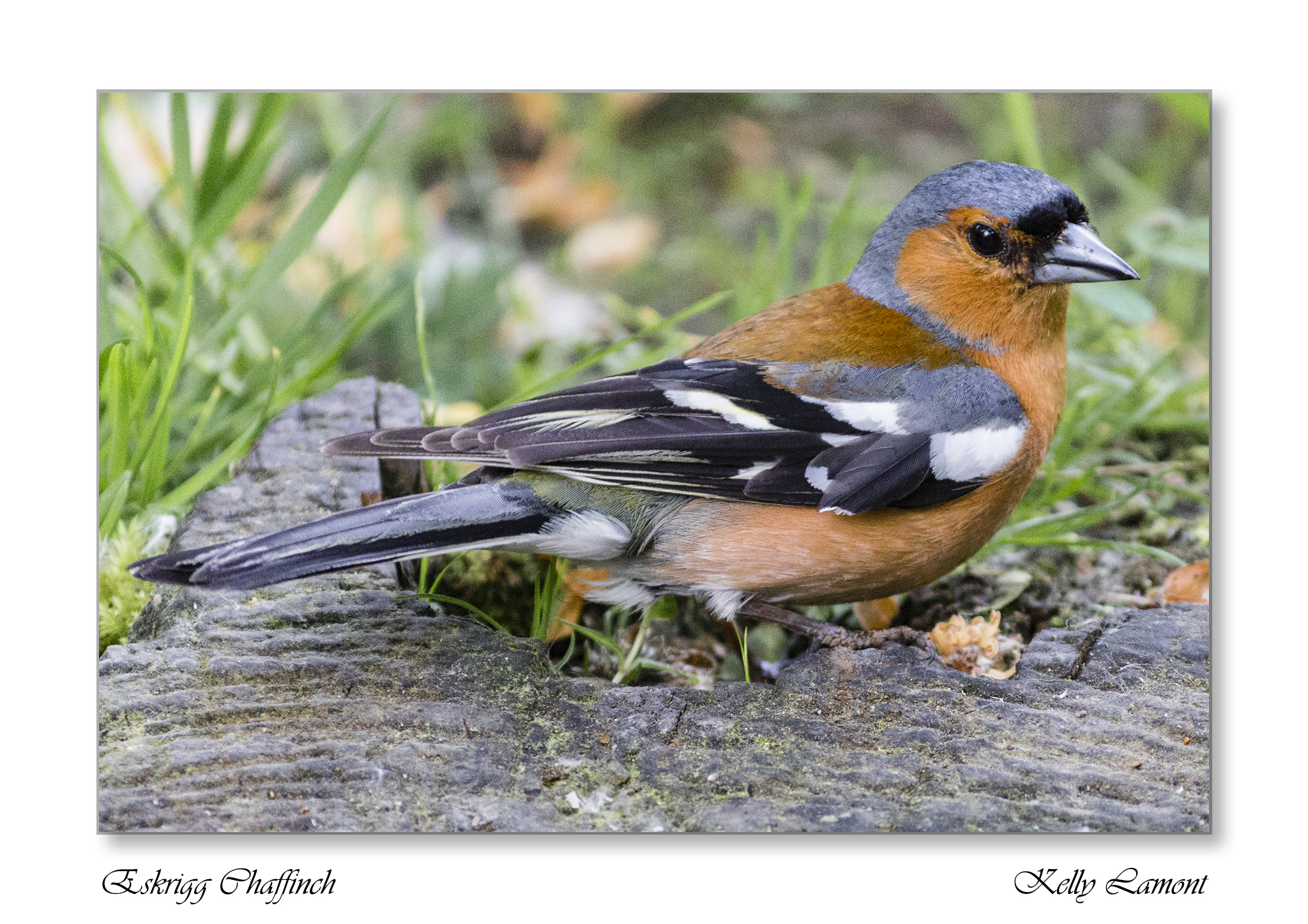 Kelly - Eskrigg Chaffinch Small