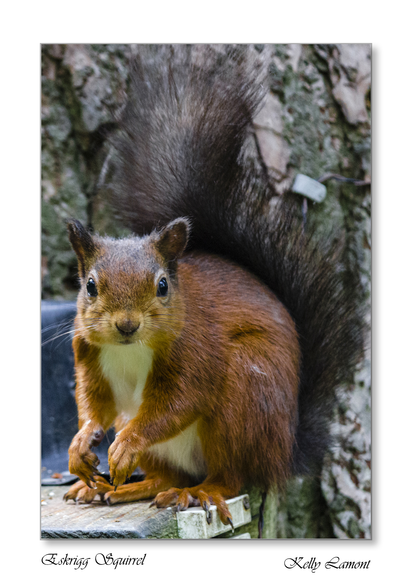 Kelly - Eskrigg Squirrel Small